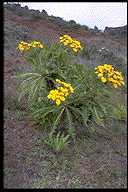 Sonchus hierrensis